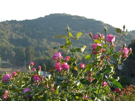 茨城県フラワーパーク バラ 9