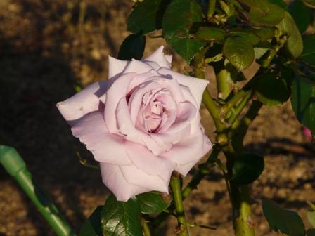 茨城県フラワーパーク バラ 26 (インターメッツォ)
