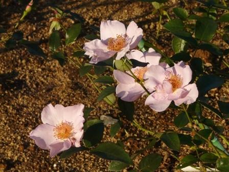 茨城県フラワーパーク バラ 10 (ライラックチャーム)