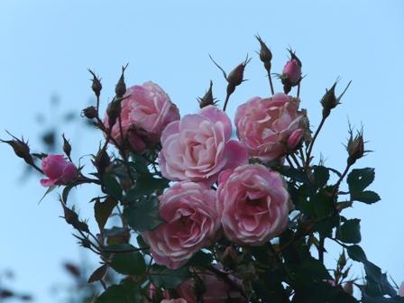 茨城県フラワーパーク バラ 12 (桜霞 2)