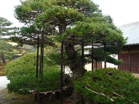 金閣寺 方丈から見た陸舟の松
