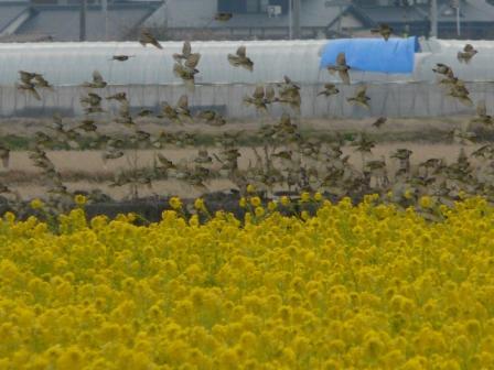 菜の花畑のスズメたち 2
