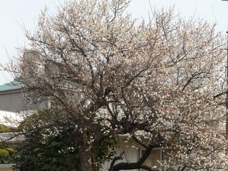 松山地方気象台 梅 1