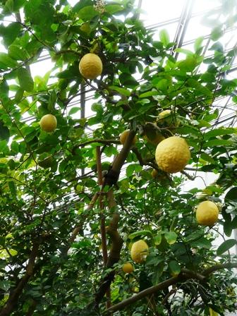 つくば植物園 レモン'ポンデローザ'