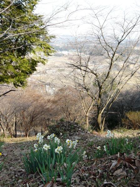 茨城県フラワーパーク 水仙 2