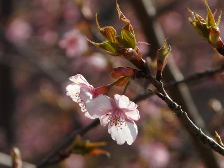 茨城県フラワーパーク 河津桜 2