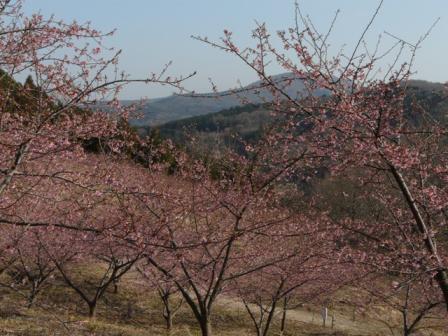 茨城県フラワーパーク 河津桜 1