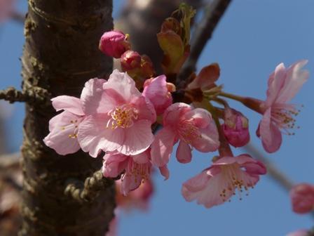 茨城県フラワーパーク 河津桜 3