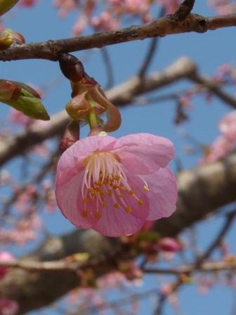 茨城県フラワーパーク 河津桜 4