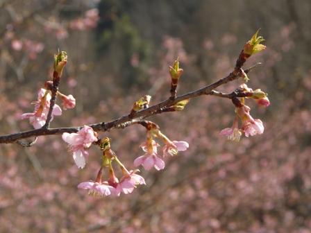 茨城県フラワーパーク 河津桜 6