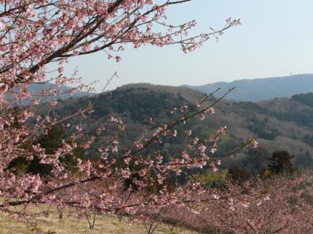 茨城県フラワーパーク 河津桜 5