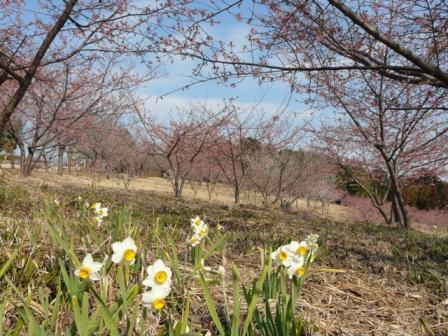 茨城県フラワーパーク 河津桜 & 水仙