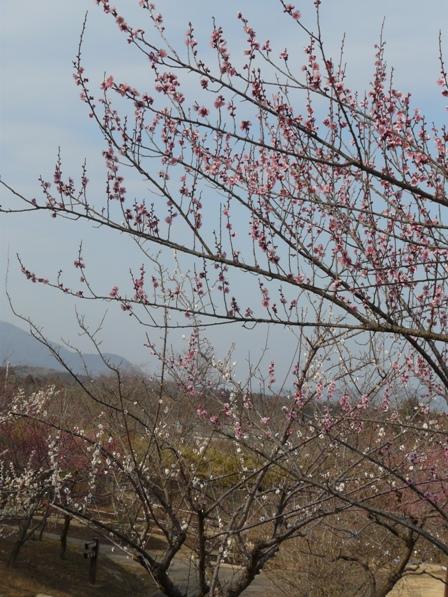 茨城県フラワーパーク 梅
