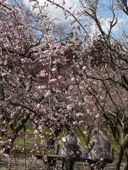 偕楽園の梅 8  藤牡丹枝垂れ