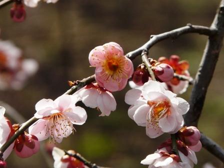 偕楽園の梅 9  藤牡丹枝垂れ