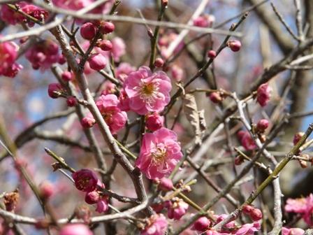 偕楽園の梅 16 筑紫紅