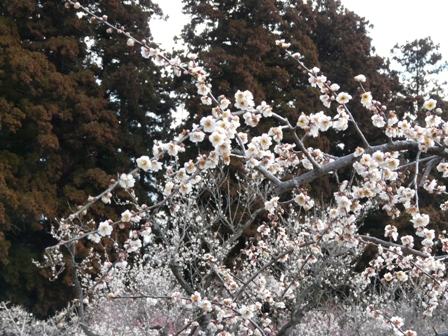 偕楽園の梅 18 高砂枝垂れ