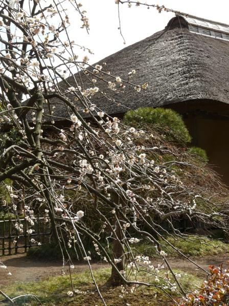 偕楽園の梅 27 白滝枝垂れ