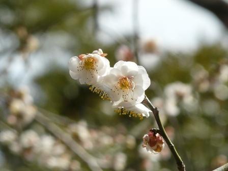 偕楽園の梅 26 白滝枝垂れ