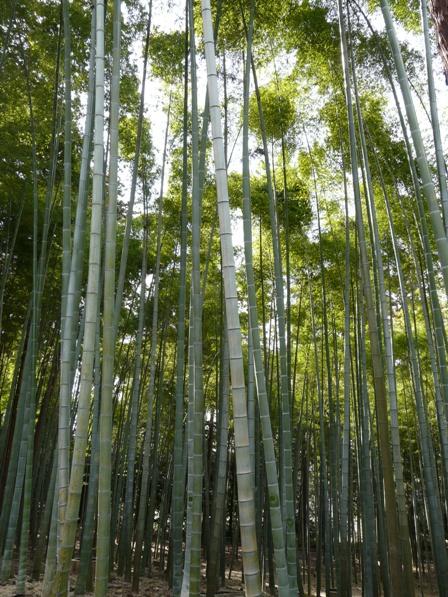 偕楽園の竹 2
