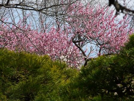 偕楽園の松と梅