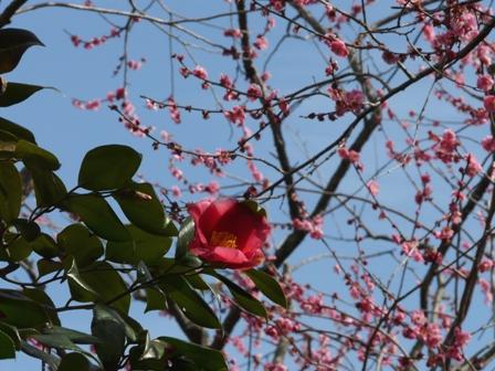 偕楽園の椿と梅