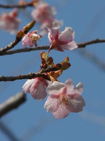 カワヅザクラ (河津桜) 1