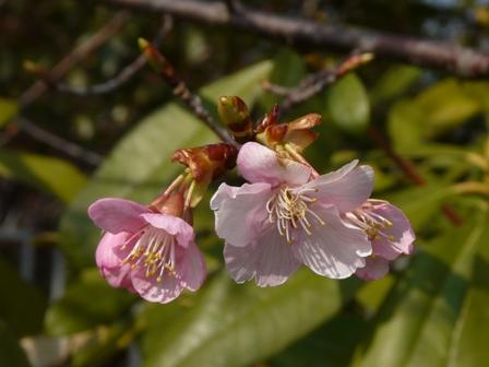 カワヅザクラ (河津桜) 2