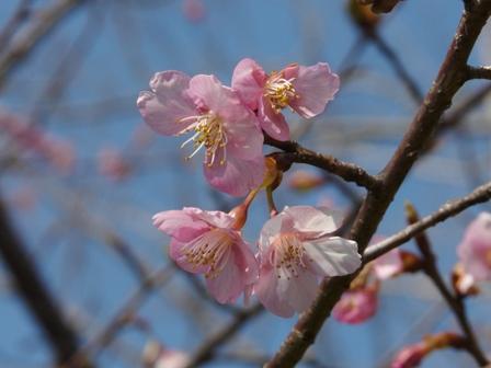 カワヅザクラ (河津桜) 3