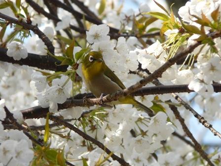 大宝寺 うば桜とメジロ 1