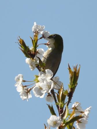 大宝寺 うば桜とメジロ 2
