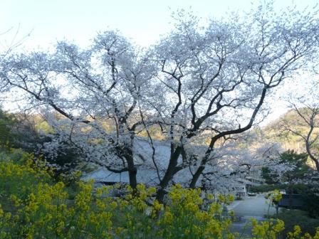 掌禅寺の金龍桜 5