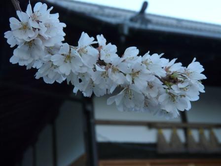 掌禅寺の金龍桜 3