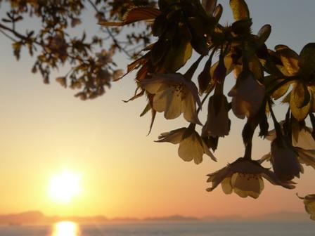 大島桜と夕日 1
