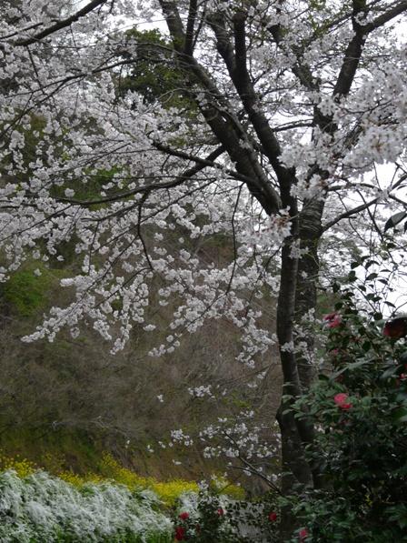 雪柳・菜の花・桜