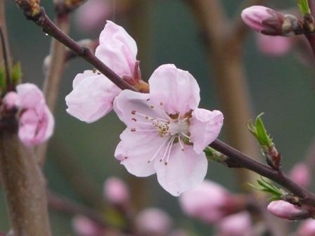 桃の花 2