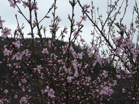 桃の花 1
