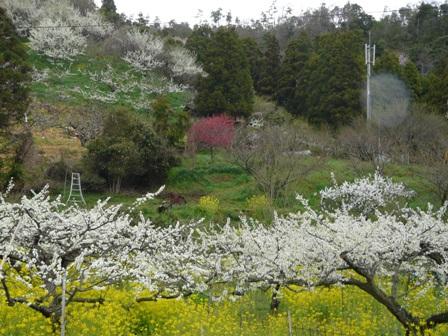 桃の花 3