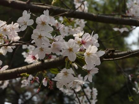 堀之内公園の桜 2
