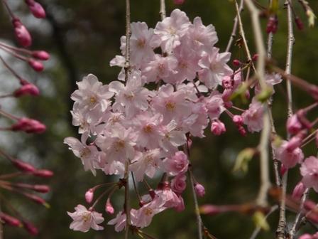 堀之内公園の桜 3