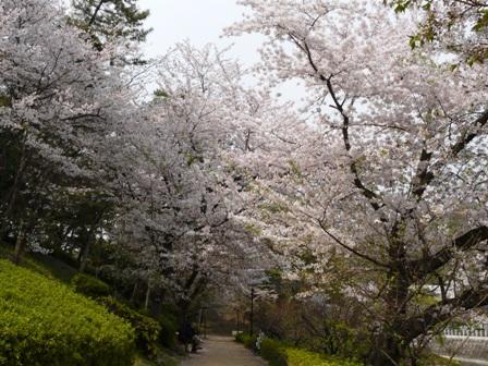 堀之内公園の桜 1