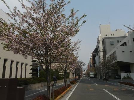 三番町の里桜