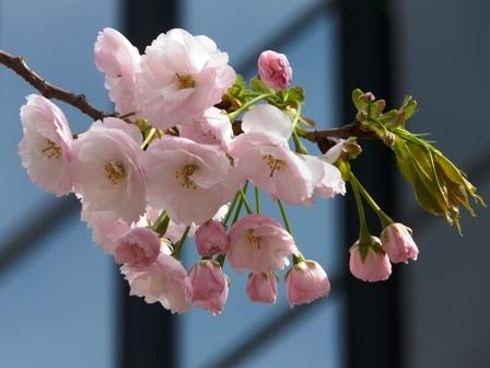 三番町の里桜 一葉