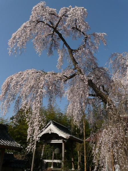 法蓮寺の枝垂れ桜 2