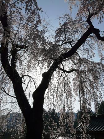 法蓮寺の枝垂れ桜 3