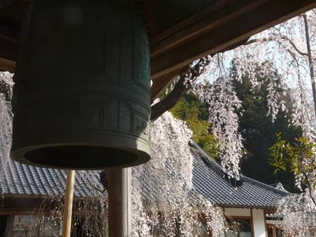 法蓮寺の枝垂れ桜 5