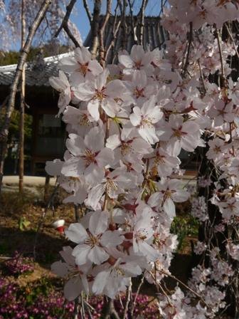 法蓮寺の枝垂れ桜 4
