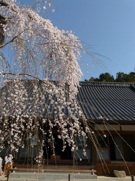 法蓮寺の枝垂れ桜 6