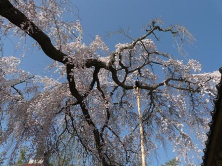 法蓮寺の枝垂れ桜 7