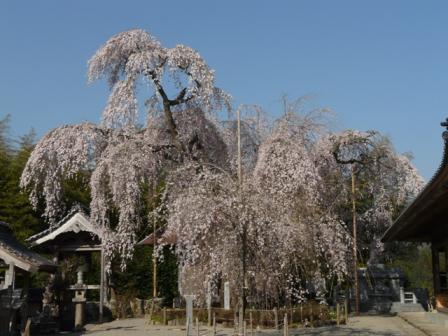 法蓮寺の枝垂れ桜 1